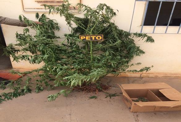 Após denúncia Policia Militar encontra vários pés de maconha na comunidade dos Patos