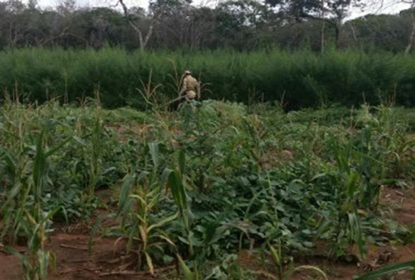 Xique-Xique: Ação descobre 20 mil pés de maconha; 'roça' tinha sistema de irrigação