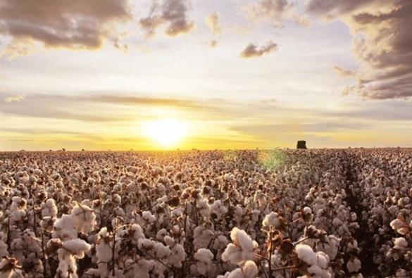 Bahia tem recorde de produtores de algodão com certificação internacional