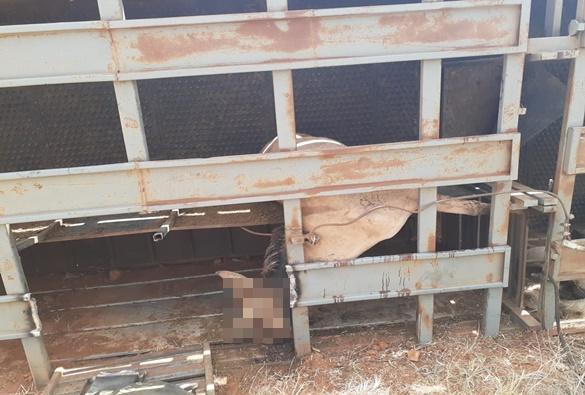 Caminhão que transportava cavalos em Livramento, tomba e deixa feridos no distrito de Itanagé
