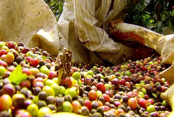 Conab faz previsão de safra recorde de café na Bahia