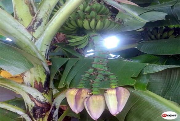 Broto triplo de bananeira em forma de coração nasce em quintal de aposentado de 92 anos