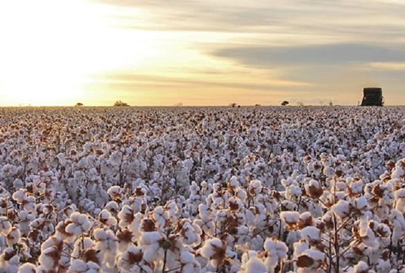 Safra de produção de algodão cresce na Bahia
